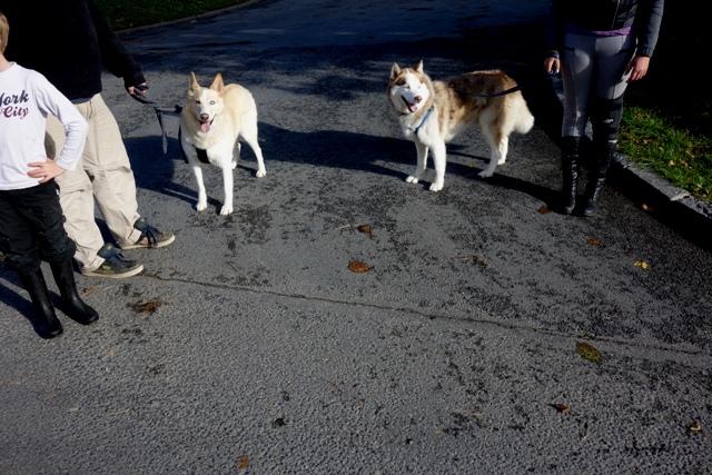 Kerouq, Sibérien Husky, 4 Ans et veut vivre sa vie. Dept 14.ADOPTE Dsc01517