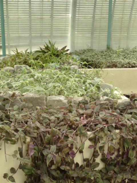 Nouveaux  aménagements ds la serre d' Acanthaceae et Commelinaceae  P1080310