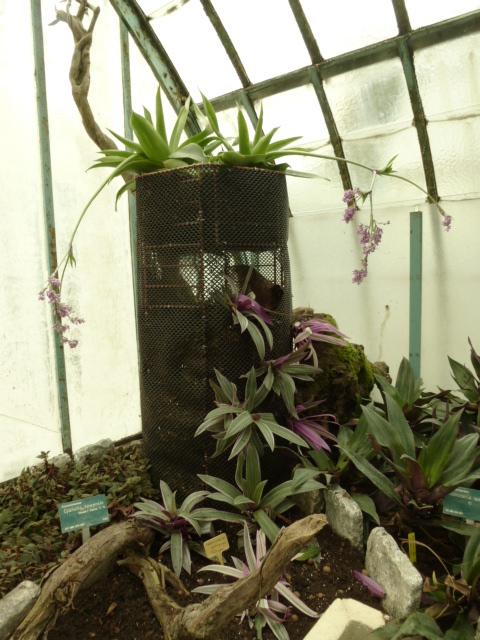 Nouveaux  aménagements ds la serre d' Acanthaceae et Commelinaceae  P1080313