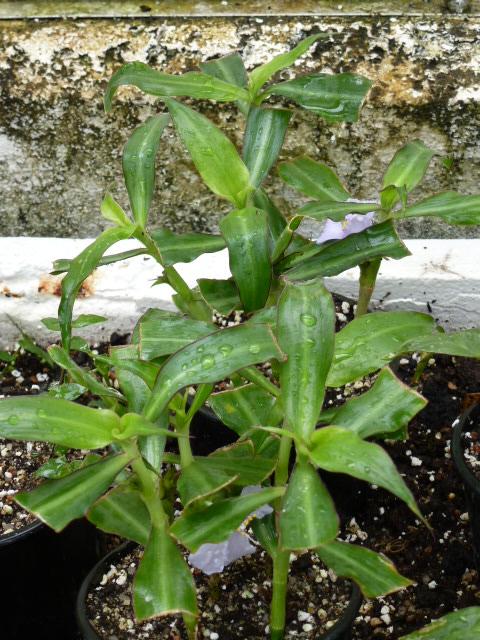 COLEOTRYPE natalensis  ( F. des Commelinaceae ) P1080410