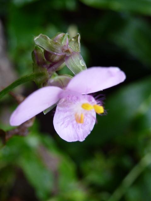 Fleur de TRIPOGANDRA diuretica ( F. des Commelinaceae )  P1080413