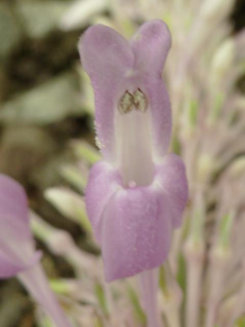 ODONTONEMA callystachyum ( F. des Acanthaceae ) P1080520