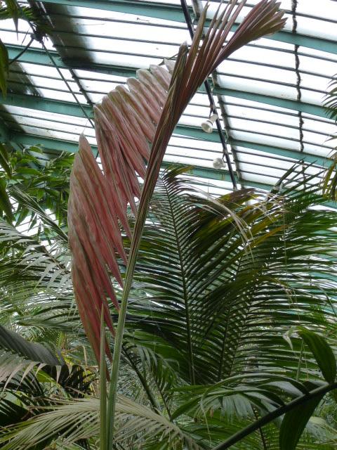 CHAMBEYRONIA macrocarpa  P1080530