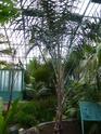 SYAGRUS coronata  P1080615
