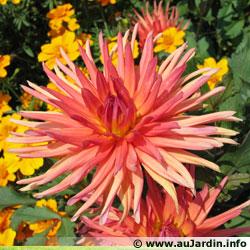 Petit quizz des plantes - Page 2 Dahlia10