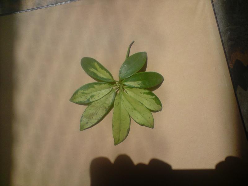 je cherche le nom et les caractéristiques d'une plante verte à 8 feuilles (suite). P1307010