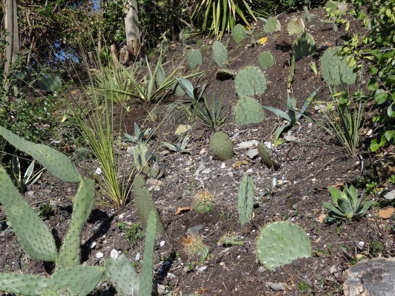 ma rocaille de xerophytes Dsc01310