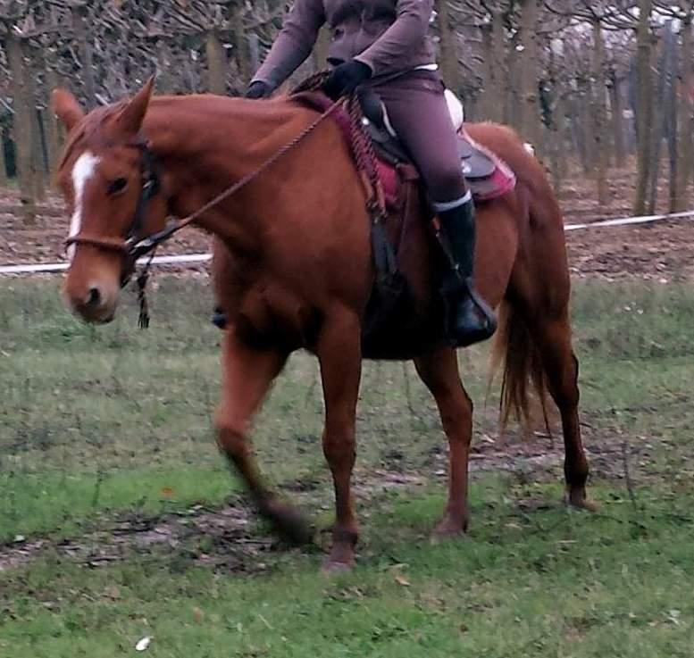 prêt jument paint horse alezane très gentille 013ab10