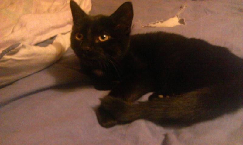 Un caractère en or : Jedi chaton né vers le 10 juillet 2014 -Adopté par babacool62- Wp_20114