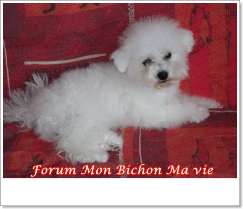 Album photos des bichons Jessie10