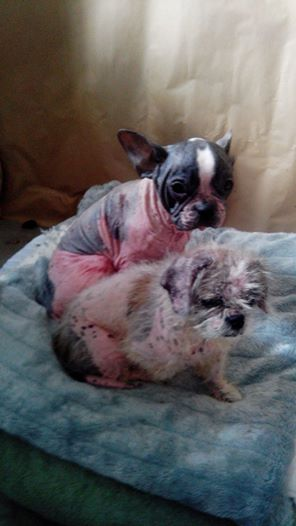 7 petits chiens retirés dans l'urgence 10807910