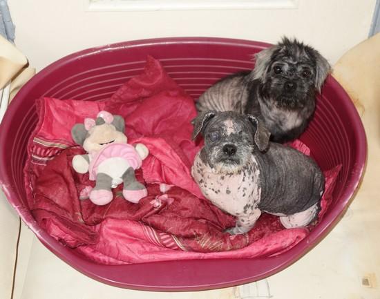 7 petits chiens retirés dans l'urgence Filles11