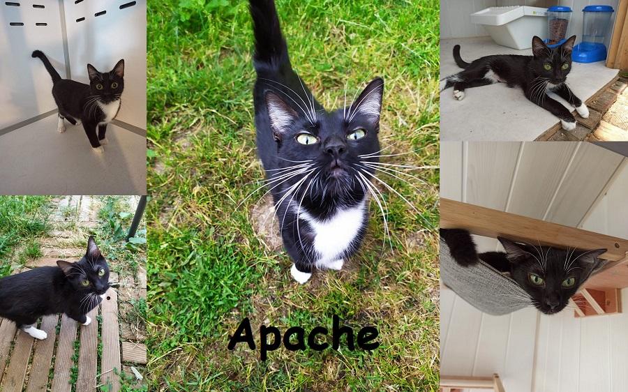 APACHE, chat femelle Apache21