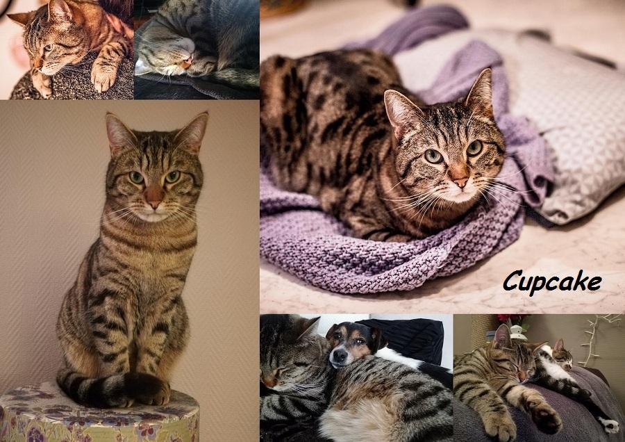 CUPCAKE, chat mâle Cupcak10