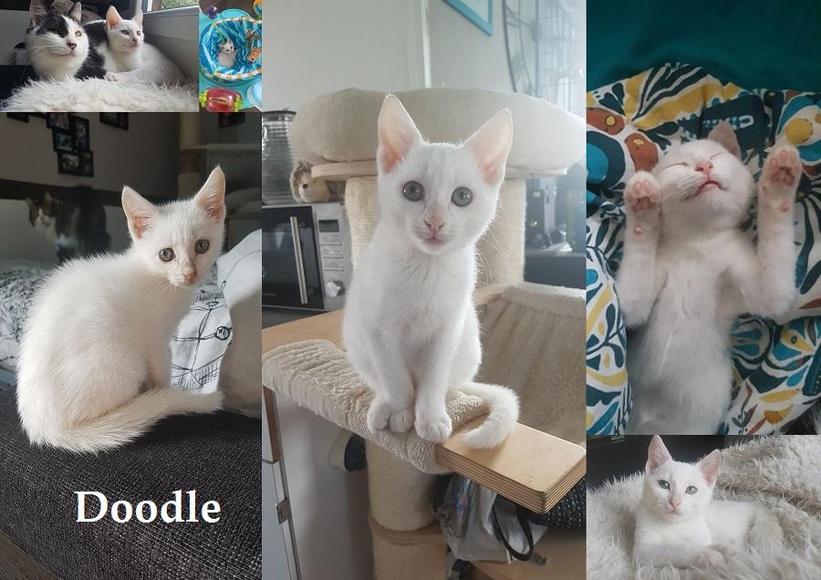 DOODLE, chat mâle Doodle29