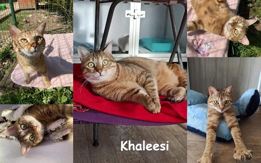 KHALEESI, chat femelle Kha1811