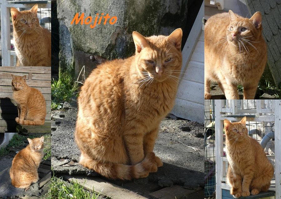 MOJITO, chat mâle Mojito30