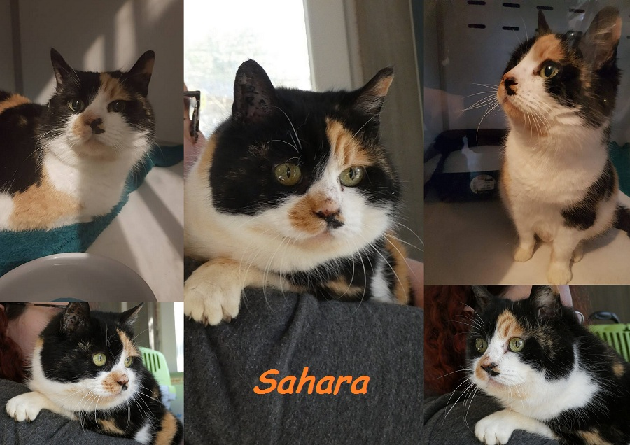 SAHARA, chat femelle Nouvea39