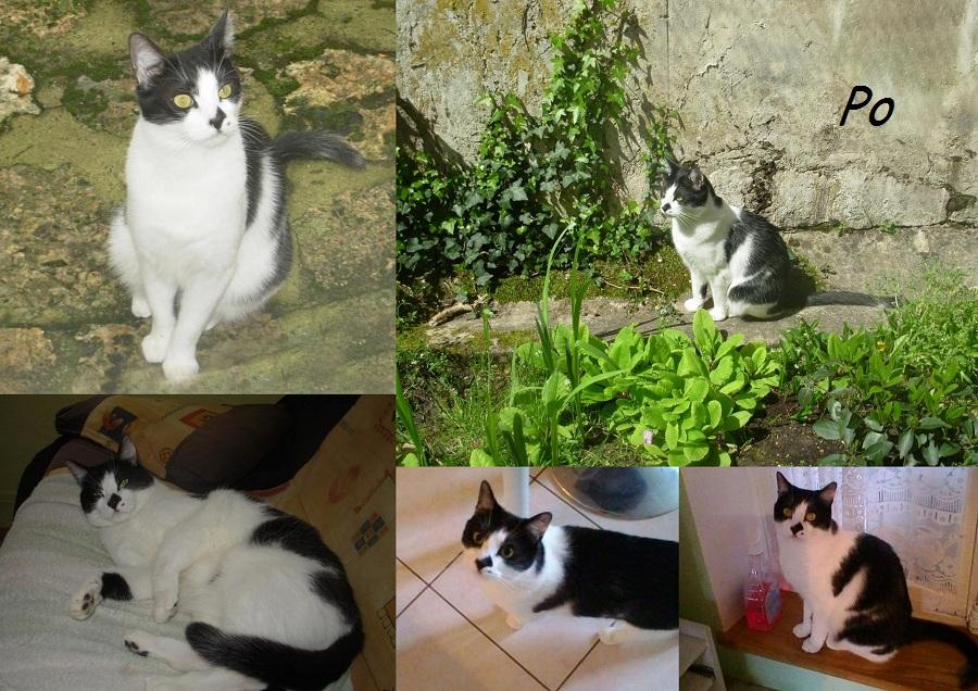 PO, chat mâle Po0011