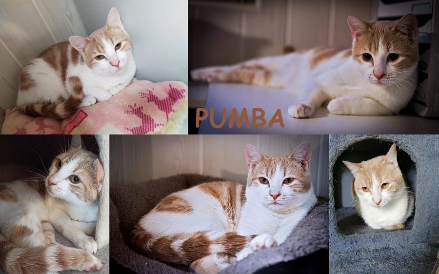 PUMBA, chat mâle Pumba210