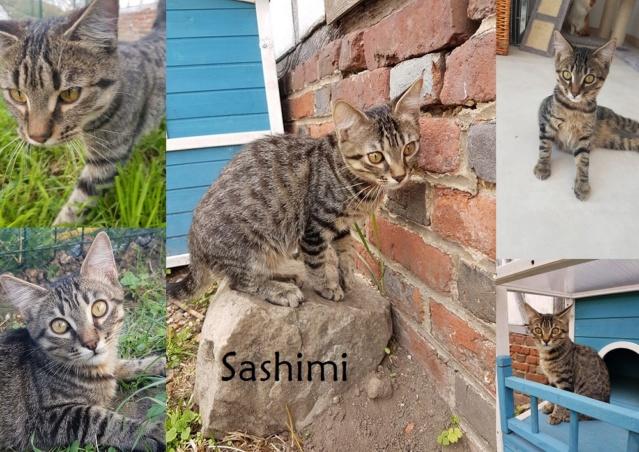 SASHIMI, chat mâle Sashim31
