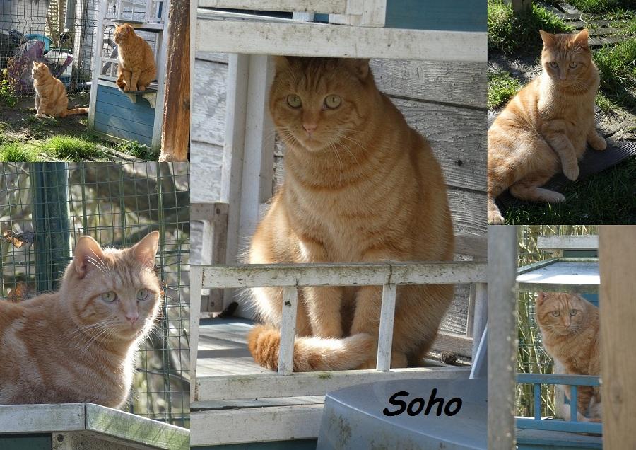 SOHO, chat mâle Soho011