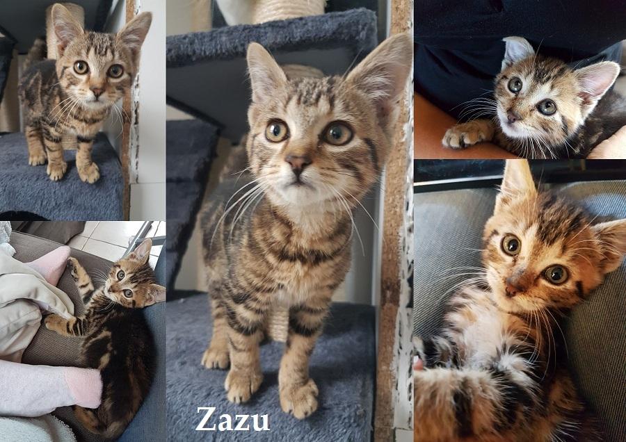 ZAZU, chat mâle Zazu711
