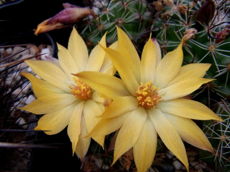 Mammillaria beneckei Mammil12