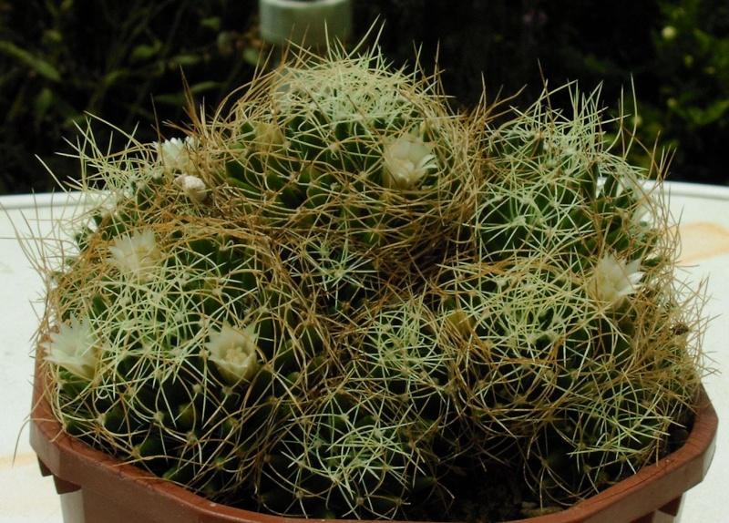 Mammillaria camptotricha Mammil15