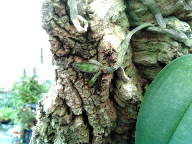 Une rareté... keiki sur racine de Phalaenopsis Keiki_10