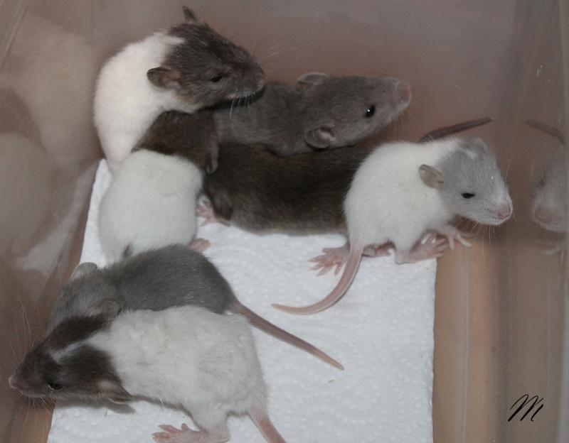16 ratons a l'adoption , encore 5 loulous  photos P3 Img_7827