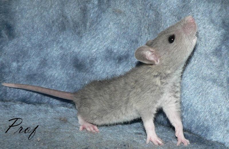 16 ratons a l'adoption , encore 5 loulous  photos P3 P1020912
