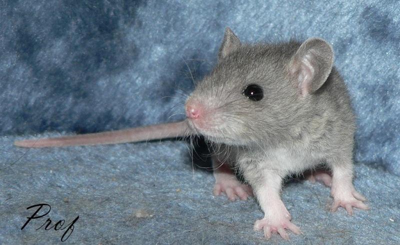 16 ratons a l'adoption , encore 5 loulous  photos P3 P1020913