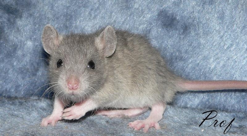16 ratons a l'adoption , encore 5 loulous  photos P3 P1020914