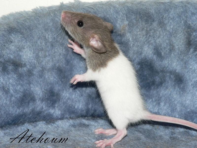 16 ratons a l'adoption , encore 5 loulous  photos P3 P1020918