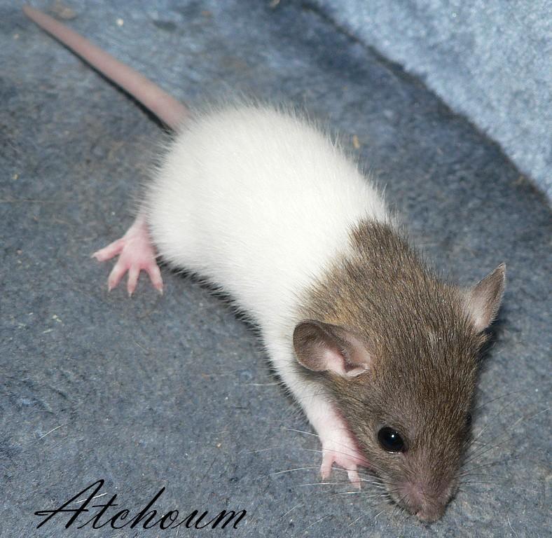 16 ratons a l'adoption , encore 5 loulous  photos P3 P1020919