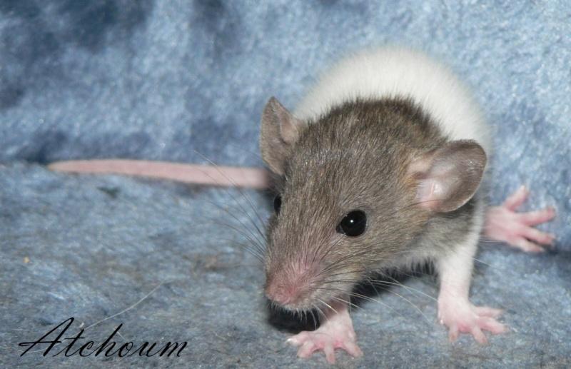 16 ratons a l'adoption , encore 5 loulous  photos P3 P1020920