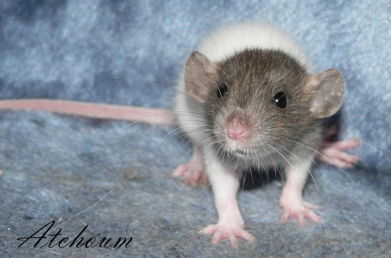 16 ratons a l'adoption , encore 5 loulous  photos P3 P1020921