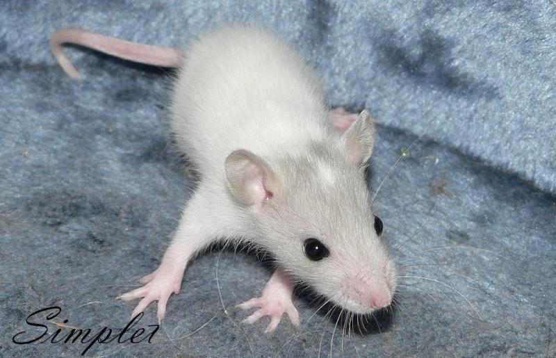 16 ratons a l'adoption , encore 5 loulous  photos P3 P1020924