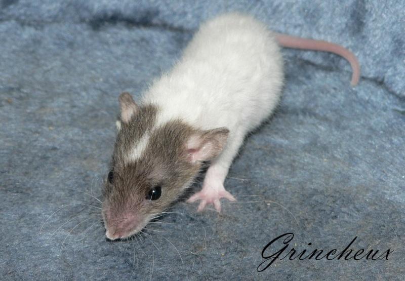 16 ratons a l'adoption , encore 5 loulous  photos P3 P1030018
