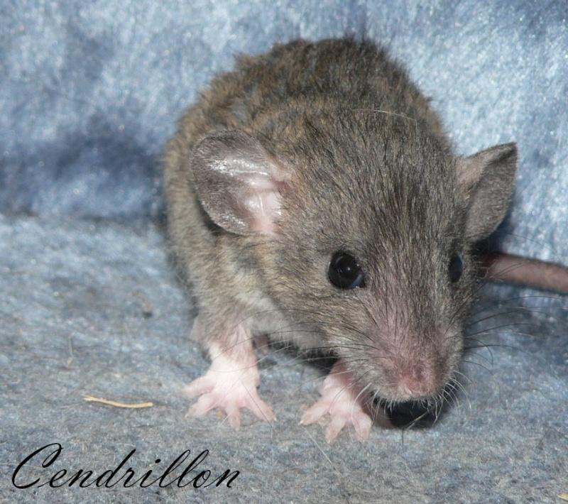 16 ratons a l'adoption , encore 5 loulous  photos P3 P1030024