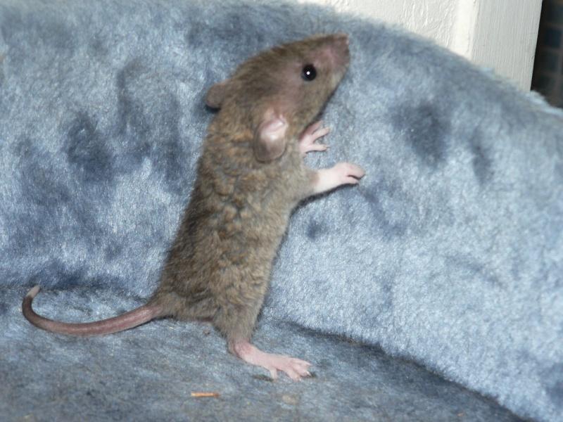 16 ratons a l'adoption , encore 5 loulous  photos P3 P1030110
