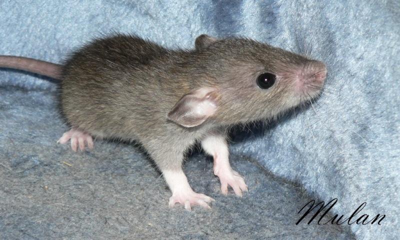 16 ratons a l'adoption , encore 5 loulous  photos P3 P1030115