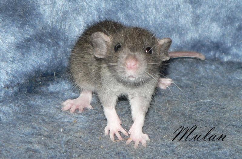 16 ratons a l'adoption , encore 5 loulous  photos P3 P1030116