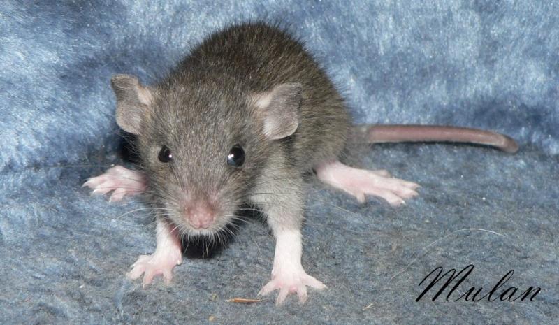 16 ratons a l'adoption , encore 5 loulous  photos P3 P1030117