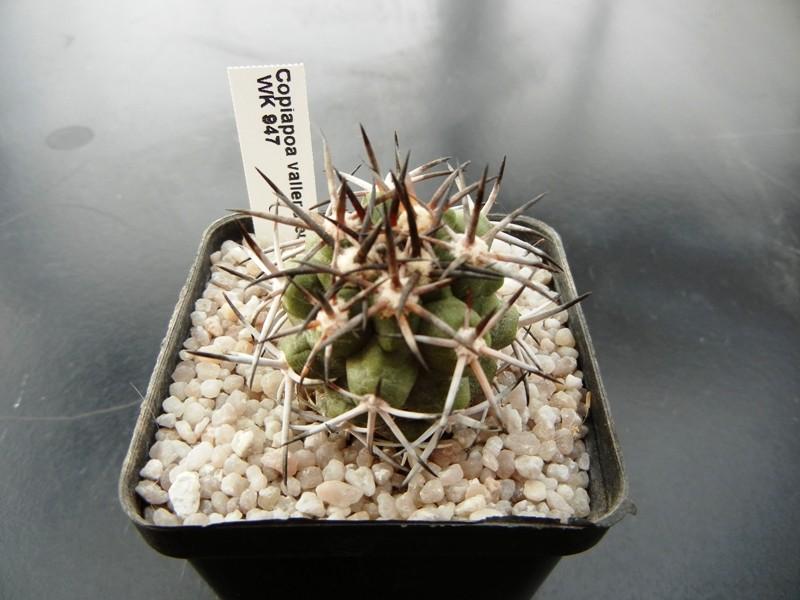 Copiapoa vallenarensis 002klt10