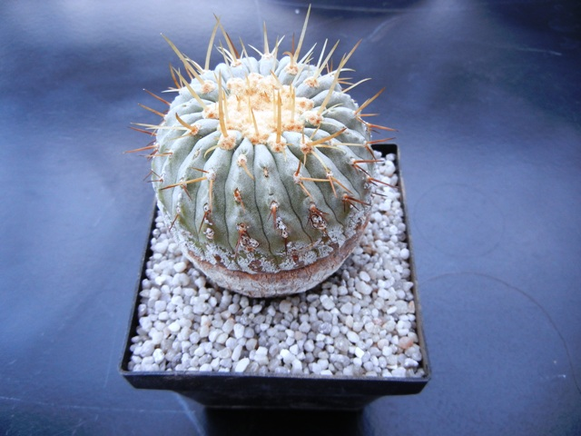 Copiapoa columna-alba 002y5910