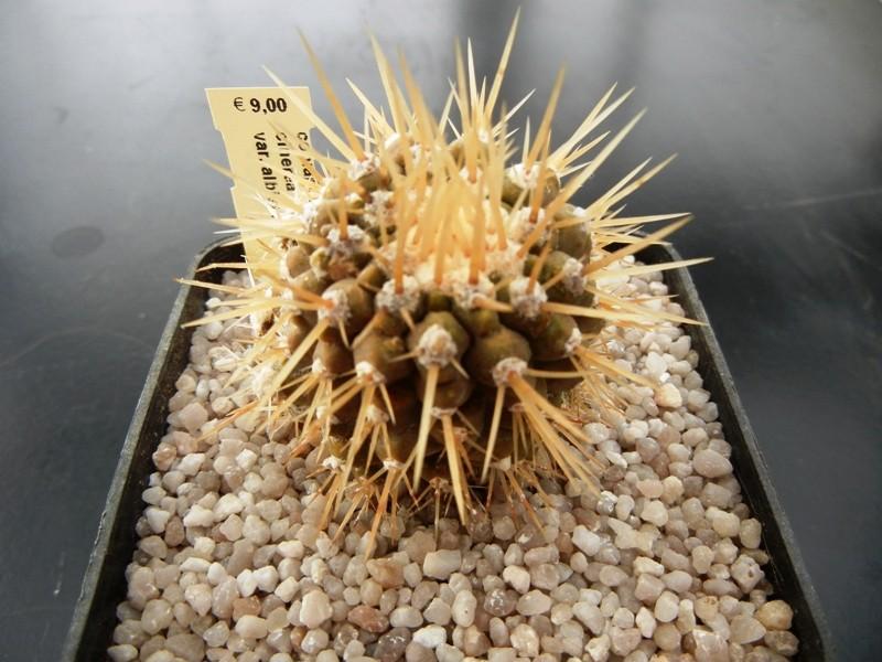 Copiapoa cinerea var. albispina 003u6s10