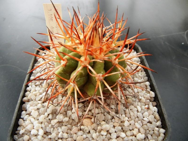 Copiapoa pseudocoquimbana var. domeykoensis 004rx510