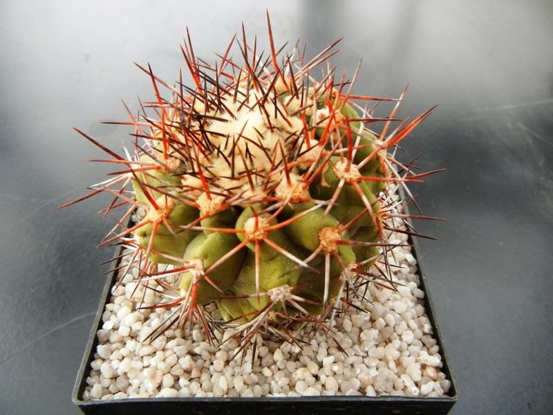 Copiapoa boliviana 006ldu10